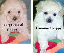 Picture of un-groomed and groomed puppy