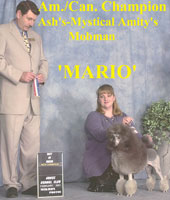 Mario. Am./Can. Champion Ash's-Mystical Amity's Momban.    ,,,now owned by - Rita Jordan